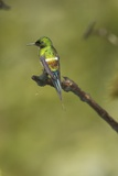 Green Thorntail on Branch Photographic Print by Joe McDonald