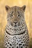African Leopard Fotografisk tryk af Michele Westmorland