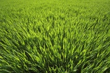 Corn Field Photographic Print by Frank Krahmer