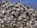Snow Geese in Flight with a Bluse Sky Day Photographic Print by Terry Eggers