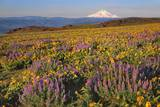 Lupine & Balsamroot with Mt. Hood Photographic Print by Steve Terrill