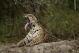 Jaguar Yawning Photographic Print by MaryAnn McDonald