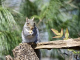 Gray Squirrel, Mcleansville, North Carolina, USA Photographic Print by Gary Carter