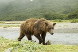 Brown Bear by River Photographic Print by Mary Ann McDonald