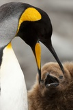 King Penguin with Baby Photographic Print by Mary Ann McDonald