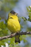 Lesser Goldfinch Photographic Print by Hal Beral