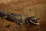 Black Caiman Sunbathing Photographic Print by W. Perry Conway