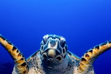Green Turtle (Chelonia Mydas) Photographic Print by Stephen Frink