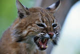 Bobcat Snarling Photographic Print by W. Perry Conway