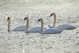 Mute Swans Photographic Print by Frank Krahmer