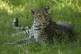 Leopard in Grass Photographic Print by Mary Ann McDonald