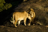 African Lion Pair Photographic Print by Mary Ann McDonald