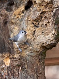 Tufted-Titmouse Photographic Print by Gary Carter