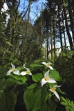 Wild Trillium Flowers along Trail Photographic Print by Steve Terrill