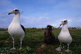 Nesting Pair Laysan Albatross Standing with a Chick Photographic Print by W. Perry Conway