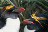 Pair of Nesting Macaroni Penguins Photographic Print by W. Perry Conway