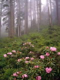 Wild Rhododendrons below Fir Trees Photographic Print by Steve Terrill