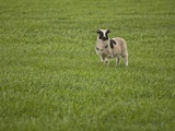 Lone Sheep in the Grass. Photographic Print by  Arctic-Images