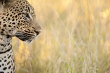 African Leopard Photographic Print by Michele Westmorland