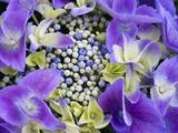 Closeup of a Lacecap Hydrangea (Hydrangea Macrophylla Normalis). Photographic Print by Julianne Eggers