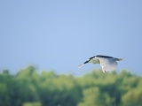 Black-Crowned Night Heron Photographic Print by Gary Carter