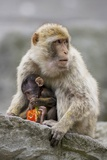A Barbary Macaque Baby Feeding in the Arms of the Mother Photographic Print by Joe Petersburger