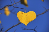 Heart Shaped Cottonwood Leaf Photographic Print by Steve Terrill