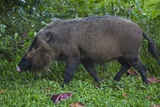 A Bornean Bearded Pig (Sus Barbatus) Photographic Print by Craig Lovell