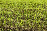 Growing Maize Field Photographic Print by Frank Krahmer