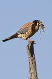 American Kestrel Eating a Rodent Photographic Print by Hal Beral