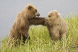 Brown (Grizzly) Bears Photographic Print by Hal Beral