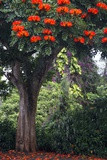 African Tulip Tree Growing on Oahu Island Photographic Print by Terry Eggers