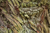 Oak Bark Photographic Print by Frank Krahmer