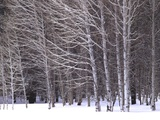 Aspen Trees in Snow Photographic Print by Steve Terrill