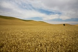 Lone Tree in Harvest Wheat Field Photographic Print by Terry Eggers