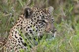 Leopard (Panthera Pardus) Photographic Print by Sergio Pitamitz