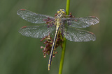 Female Western Clubtail Photographic Print by Klaus Honal