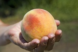 A Large, Freestone Peach from the Kimberly Orchards in Central Oregon Photographic Print by Buddy Mays