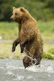 Brown Bear Standing Photographic Print by MaryAnn McDonald
