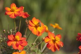Orange Flowers Photographic Print by Joanna Jackson
