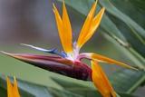 Bird of Paradise Flower, Maui, Hawaii Photographic Print by Ron Dahlquist