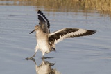 Willet Landing Photographic Print by Hal Beral