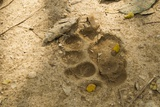 Jaguar Track in Sand Photographic Print by Joe McDonald