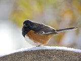 Rufous Towhee in Winter, Mcleansville, North Carolina, USA Photographic Print by Gary Carter