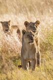 African Lionesses Fotografisk tryk af Michele Westmorland
