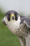 Peregrine Falcon Close-Up Photographic Print by Hal Beral