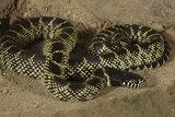 Desert King Snake Photographic Print by Joe McDonald