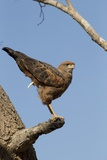 Savanna Hawk Perched Photographic Print by MaryAnn McDonald