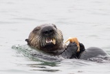 Southern Sea Otter Eats a Clam Photographic Print by Hal Beral