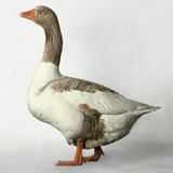Pomeranian Goose Photographic Print by Robert Dowling